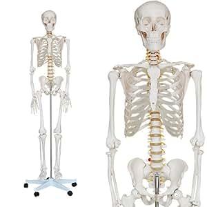 Squelette Humain 180cm avec support - Modele Anatomique