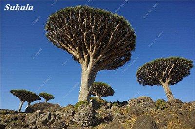 Dracaena arbre Graines, Arbre de sang (Dracaena draco), Graines rares Showy géant Fleur de cerisier Bonsai pot jardin Plantes 10 Pcs 3