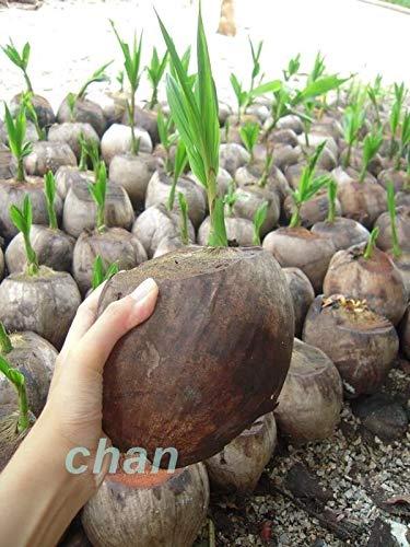 Seeds: 1 Samen Kokospalme Samen gekeimt Samen (Cocos Nucifera) C