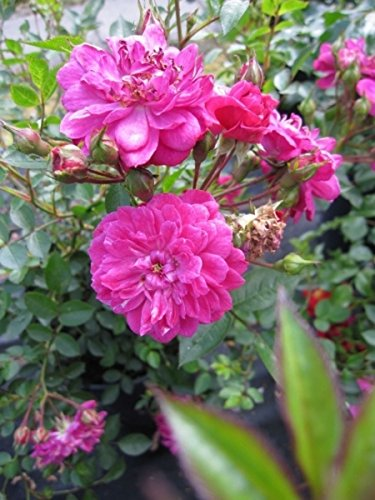 Strauchrose Purple Rain® - Rosa Purple Rain® - purpur-violett - Duft+ - Kordes-Rose Preis nach Stückzahl Einzelpreis