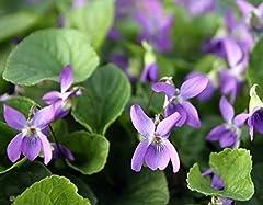 Idea Regalo - Sweet Violet, Semi viola inglese - Viola odorata