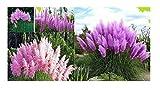 25x Lila Pampasgras Cortaderia Selloana Ziergras Violett/Pink Mix Samen #210