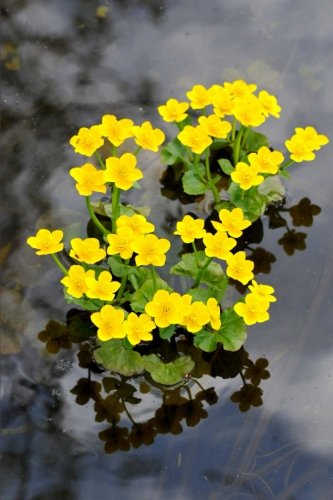 pretty-yellow-kingcup-marsh-marigold-caltha-palustris-flower-journal-150-page-lined-notebook-diary