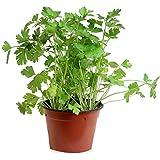 Perejil Maceta 14cm Planta Aromática Planta para Cocinar Perejil Liso Petroselinum Crispum
