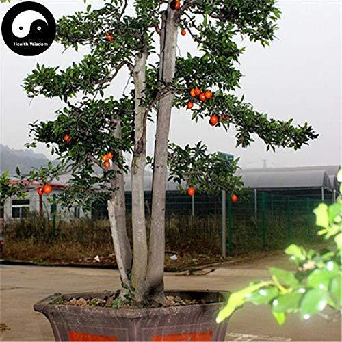 PLAT FIRM KEIM SEEDS: 15pcs: Kaufen Diospyros Armata Baumsamen Pflanze Chinese Gold-Bart Baum Bonsai