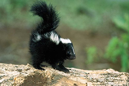 The Poster Corp Konrad Wothe – Striped Skunk kit on Log with Raised Tail to Spray North America Kunstdruck (25,40 x 35,56 ()