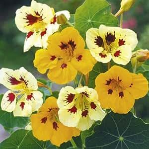 Suttons Seeds 124168 Mélange graines de Capucine Ladybird