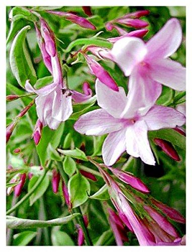Jasminum 4er Duft-Jasmin-Kombination officinale beesianum Stephanense arabischer Sambac