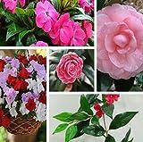 Große Förderung Förderung schöne Garten Fleißiges Lieschen Seed afrikanischen Balsamine Samen Garten-Blumen-Samen 1 Packung 100Seeds N