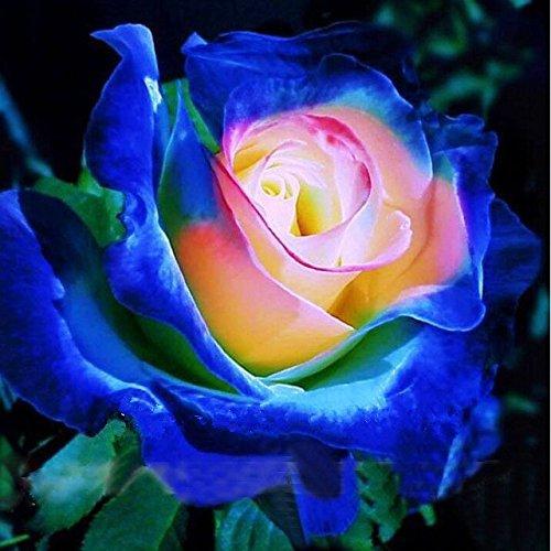 2016 Rare Bleu Rose Jaune Rose Bush Graines de fleurs, Paquet professionnel, 20 graines / Paquet, Fleurs de jardin