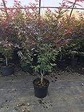 Japanischer Zierahorn Fächerahorn Acer Palmatum Atropurpureum 100cm im Topf gewachsen