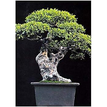 tropica bonsai chinesische ulme ulmus chinensis 30 samen garten. Black Bedroom Furniture Sets. Home Design Ideas