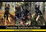Deutscher Schäferhund-Welpe - aus der Ostdeutschen Arbeitslinie (Wandkalender 2020 DIN A2 quer): Dieser tierische Kalender begleitet einen 8 Wochen ... (Monatskalender, 14 Seiten ) (CALVENDO Tiere) -