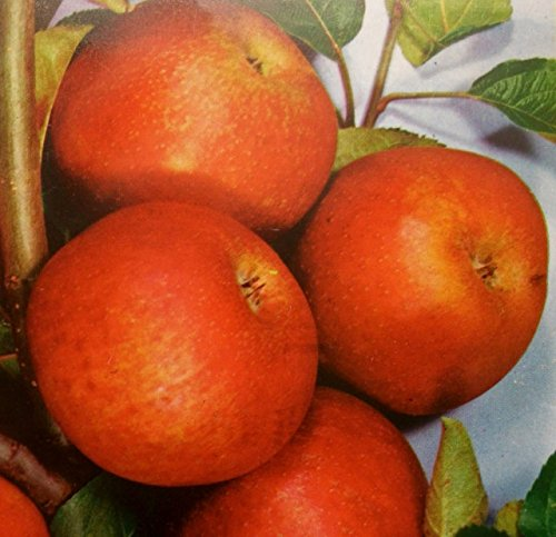 Apfelbaum Rote Sternrenette Apfel Rote Sternrenette – Malus Rote Sternrenette Containerware 120-160 cm hoch,