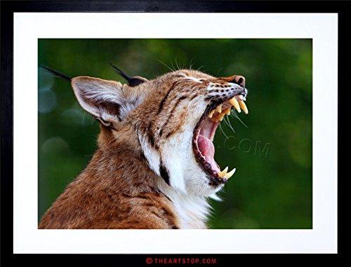 photo-animal-nature-bobcat-cat-yawn-teeth-framed-print-f12x2699