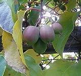 Selbstbefruchtende Mini Kiwi 10 Samen -Winterhart und Robust- by Samenchilishop