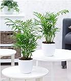 BALDUR-Garten Zimmerpalmen Duo, 2 Pflanzen Zimmerpflanze Palme Chamaedorea Bergpalme