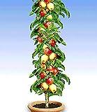 Kisshes Seedhouse - 50pcs Bio Rare Mini-pommier 'Gala' plante vivace graines plant fruitier jardin juteuse aux balcons et aux terrasses...