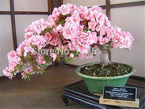 Bonsaï japonais graines de sakura 10 graines / paquet, bonsaïs fleur de cerisier