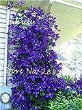 Vistaric Vente! 1 pcs de vrais bulbes de clématites (pas de graines de clématites) beaux bulbes à fleurs plante grimpante plantes vivaces bonsaï plante en pot 7...