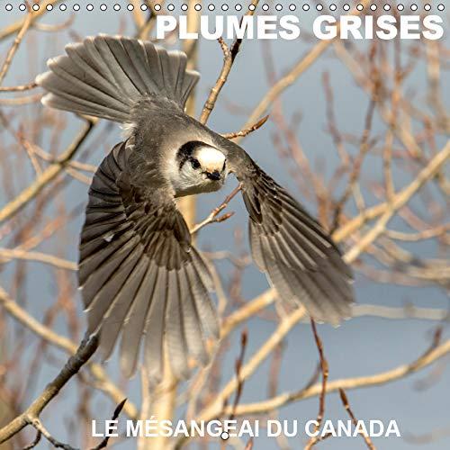 PLUMES GRISES - LE MESANGEAI DU CANADA 2019: Rencontre avec le mesangeai du Canada