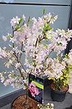 Japanische Zierkirsche Prunus kurilensis Ruby 60 -...
