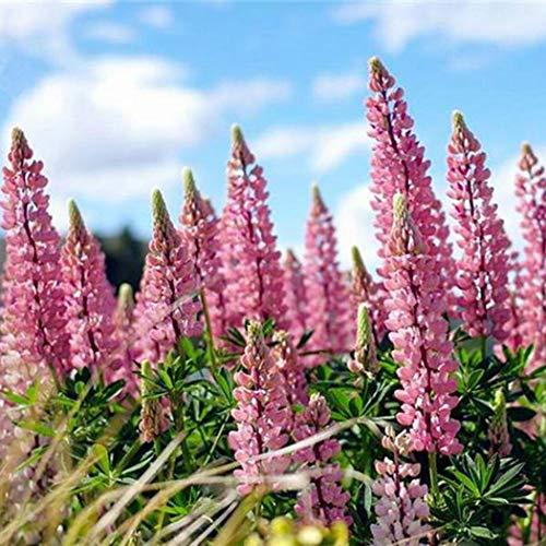 Soteer Garten - 50 stücke Duftende Lupine Samen, Entzückende Blumen Samen Lupine Samen Duftende Blume Samen mehrjährig