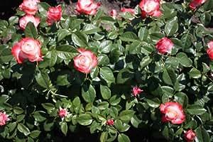 15er set Edelosen rosa 'Nostalgie®', 15 Stück
