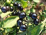 Solanum burbankii, Wunderbeere, süsse Beere, 10 Samen, von unserer ungarischen Farm samenfest, nur organische Dünger, KEINE Pesztizide