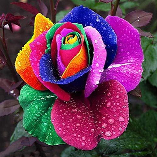Shoppy Star Shoppy étoiles: couleur: 200Pcs Graines Rose, Rose Rare Blooming Bleu Noir Rouge Pétale Fleur Jardin Plante Décoration d'intérieur (couleur)