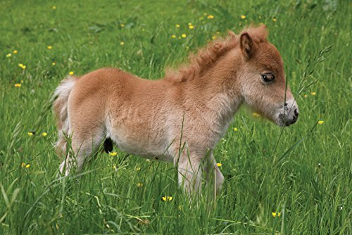 biglietto-di-auguri-pony-shetland-puledro-a-cavallo-bianco-interno-per-qualsiasi-tipo-di-messaggio-b