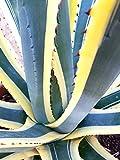 E.C.A.T.E. Piante grasse rare | Agave americana marginata [vaso Ø 18 cm]
