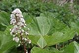 2er-Set - Petasites hybridus - winterhart - Pestwurz, rosa - Wasserpflanzen Wolff