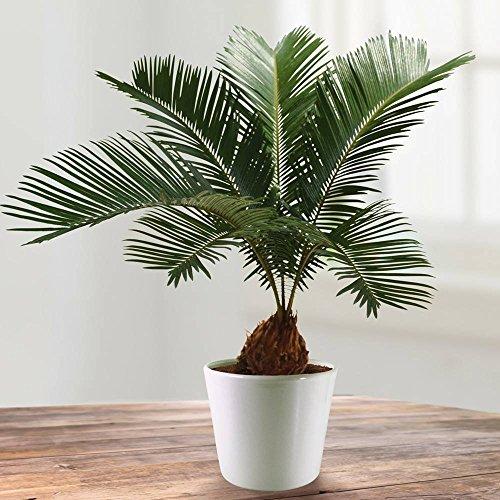 cycas-revoluta-1-plante