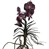 Orchidea Vanda, colore viola, 35