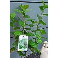 Baya Aronia melanocarpa VIKINGO 40-60 cm alto en 3 Litros Maceta