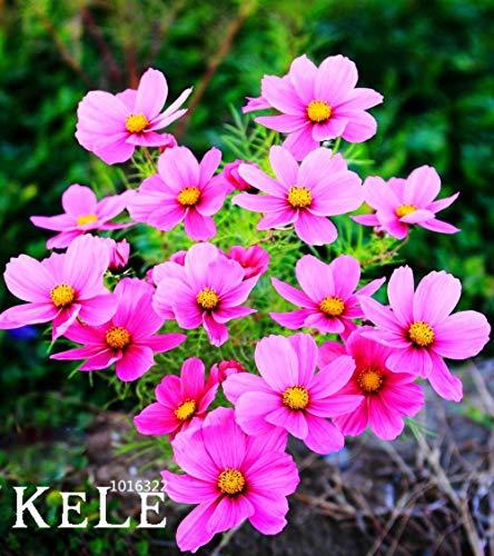 VISTARIC Gelbe Rose Golden Celebration aromatische 100 Blumensamen
