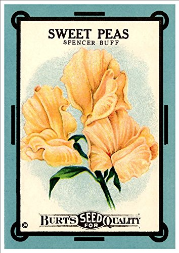 burts-spencer-buff-sweet-peas-a4-glossy-art-print-taken-from-a-beautifully-illustrated-vintage-seed-