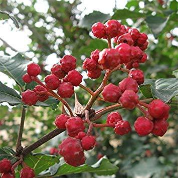 Garten Kräftiges Bio Kaufen Red Peppercorn Baumsamen 200pcs Pflanze Zanthoxylum bungeanum Für Hua Jiao New