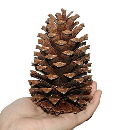 jpkoekw Tannenzapfen Pinienzapfen Groß 10 Stück 10-15cm Pinus Pinea Pinien Zapfen Kiefernzapfen Dekozapfen Zapfendeko