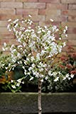 Zier-Kirsche `Kojou-no-mai´ (Prunus incisa) Größe 60-er Stamm, 10-L-Topf