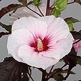lichtnelke - Riesen-Hibiskus (Hibiscus moscheutos) Carousel® Jolly Heart