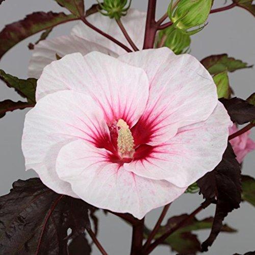 lichtnelke – Riesen-Hibiskus (Hibiscus moscheutos) Carousel® Jolly Heart