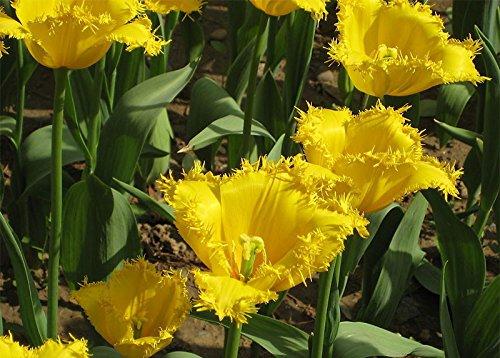 100pcs / Graines sac Bonsai Tulip rares Graines Jaune Tassel Bord Pétales Tulip Fleur Graines Jardin Décoration Bonsai Fleur