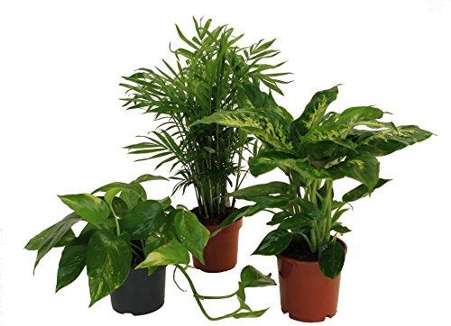 Amazon.de Pflanzenservice Tropic-Trio, Efeutute, Zimmerpalme mit Dieffenbachia, Zimmerpflanzen, Kübelpflanzen