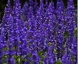 1x Steppen Salbei Mainacht Salvia Nemorosa Pflanze Garten Neu K-P167