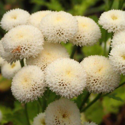 Tanacetum Parthenium 'Virgo' Seeds
