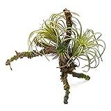 Tillandsienzweig m. 3 Pflanzen, L 20cm, künstlich, sehr dekorativ !!!