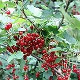 Rote Johannisbeere 'Jonkheer van Tets' - Ribes rubrum 'Jonkheer van Tels'
