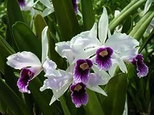 Mühlan Aquatic Plants - Pianta di orchidea, varietà Laelia purpurata var, vaso da 14 cm